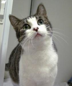 Eloisaè una gattina nata a giugno 2014. Nonostante la giovane età ha avuto 5 vicini (già adottati) che ha accudito con dedizione. Ora tocca a lei trovare una famiglia accogliente che apprezzi la sua tenerezza. Vaccinata, sterilizzata e testata FIV/FELV negativa
