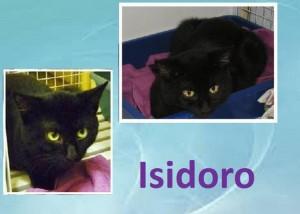 Isidoro nato nell'estate 2014, è un bel micio nero e battagliero, che ingaggia lotte senza fine con tutti i giochini che gli capitano a tiro, ma che non disdegna qualche grattino sul naso. Testato Fiv/Felv negativo, vaccinato e sterilizzato