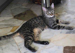 Waldanata Ottobre 2015 è una gattina di taglia piccola molto simpatica ed esuberante, meglio come micia unica perché dominante con gli altri gatti. Vaccinata, sterilizzata e testata negativa a FIV/FELV