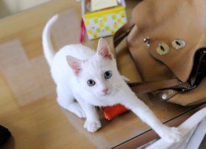 Lupinnato a fine giugno 2016, sarà adottabile da metà ottobre dopo la seconda vaccinazione. Come molti gatti bianchi è sordo, per cui dovrà vivere esclusivamente in appartamento. Molto affettuoso e scatenato come tutti i cuccioli