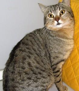 Lilloè un bel tigrato di circa 1 anno con una coda particolarissima: corta e molto pelosa. Vaccinato, sterilizzato e negativo a FIV/FELV