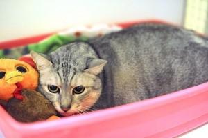 MaoGattone nato in famiglia 4 anni fa, per problemi familiari è stato portato in gattile. Ama le carezze, è sterilizzato e testato FIV/FELV negativo
