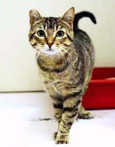 VirgolaE' una gattina molto dolce nata ad Agosto 2015. E' vaccinata, sterilizzata e testata negativa a FIV/FELV