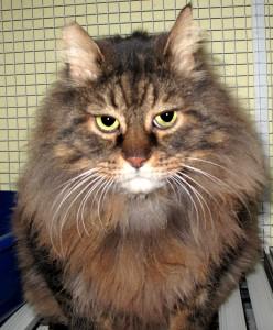 Romeo gatto imponente di nove anni, è stato riportato in tattile dopo 5 anni a casa. Vaccinato, sterilizzato e FIV/FELV negativo; zoppicca leggermente a casa di una vecchia lesione